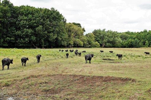 Buffalo, Herd, Puszta, Hungary