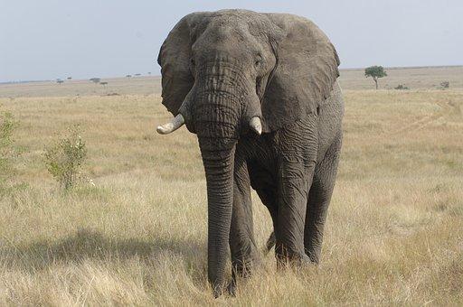 Elephant, Savannah, Kenya