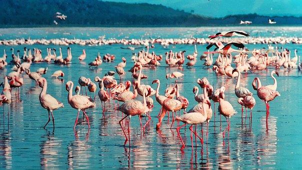 Pink Flamingo, Lake Nakuru, Kenya, Africa, Birds