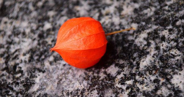 Lampionblume, Physalis Alkekengi, Lantern Flower
