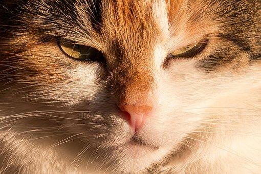 Cat, Domestic Cat, Lucky Cat, Mieze, Pet, Animal