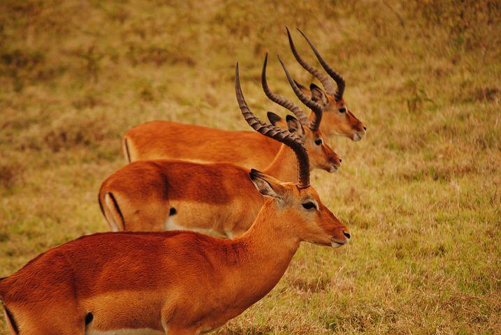 Kenya, Savannah, Mara, Roe, Mamals, Fauna, Africa