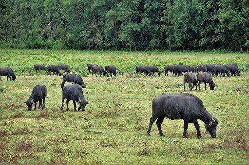 Buffalo, Herd, Puszta, Stocker, Milk