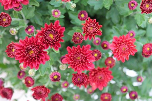 Chrysanthemums, Flowers, Red, Salento