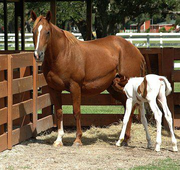 Horse, Baby Horse, Animal, Feeding, Cute, Farm, White