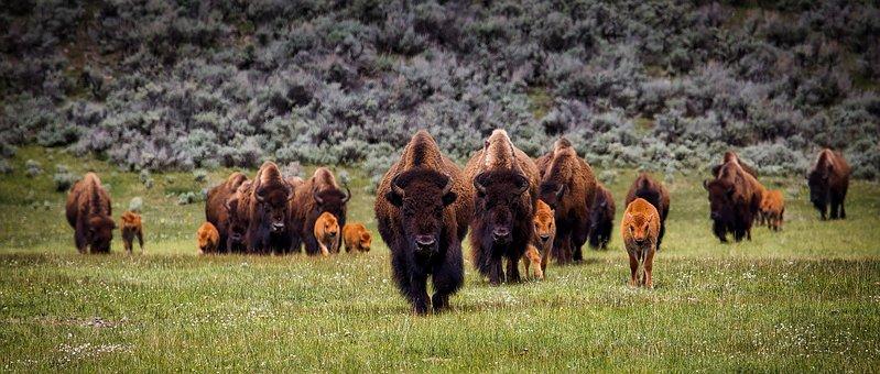 Bison, Buffalo, Herd, Wildlife, Animals
