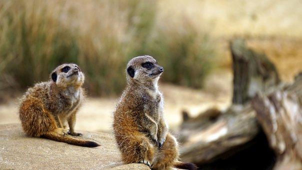 Meerkat, Wild, Animal, Wildlife, Mammal, Nature, Africa