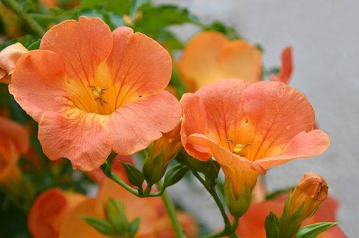 Flowers, Garden, Summer, Bignone, Plant, Orange, Nature