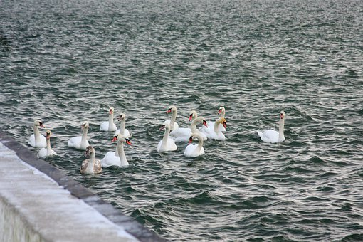 Sea, Swans, Winter, Birds