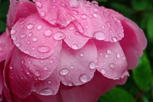 Rose, Pink, Bloom, Autumn, Raindrops, Flower, Plant