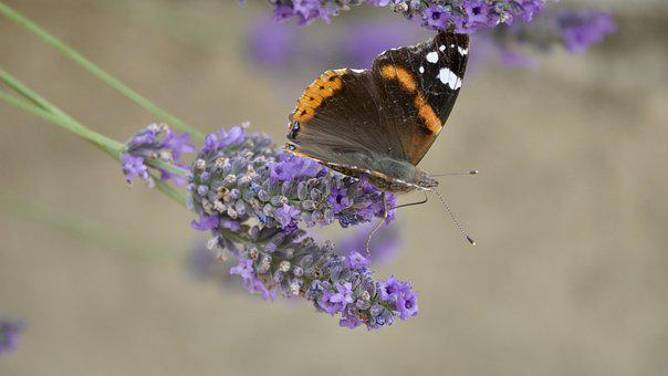 Butterfly, Lavender, Nature, Garden