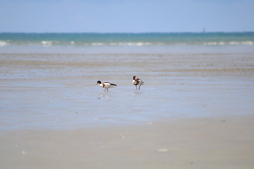 Shelducks, Couple, Fishing, Birds, Water, Ocean, Nature