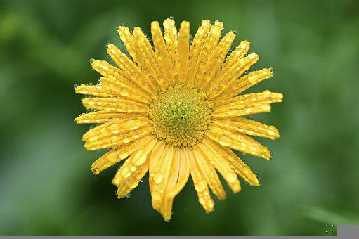 Marguerite, Flower, Blossom, Bloom, Yellow, Bright