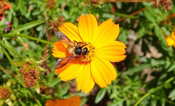 Flower, Cosmos, Orange, Cosmos Sulphureus, Bee