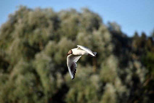 Seagull, Brown-Headed Gull, Flying, Bird