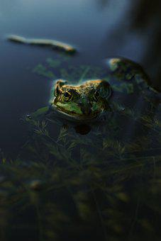 Frog, Evening, Water, Pond, Gold, Amphibian, Nature