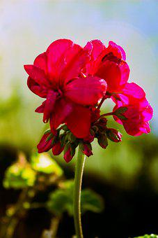 Flower, Red, Rose, Love, Bloom, Garden, Poppy, Plant