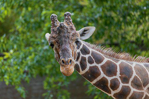Giraffe, Zoo, Animal, Animal World, Africa, Mammal