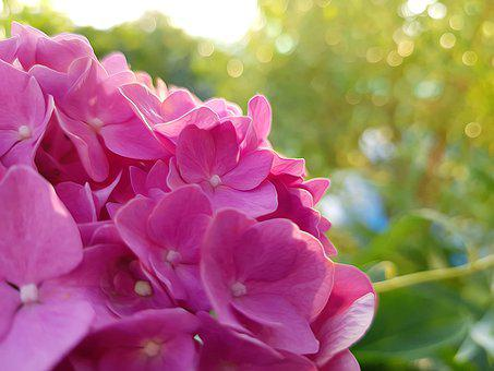Hortenzia, Garden, Sun, Golden Hodinka, Bright, Iskrivé