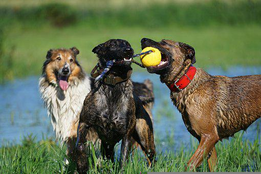 Animals, Dogs, Fun, Happy, Traffic