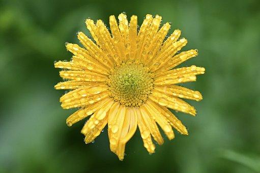 Marguerite, Flower, Blossom, Bloom, Yellow, Bright