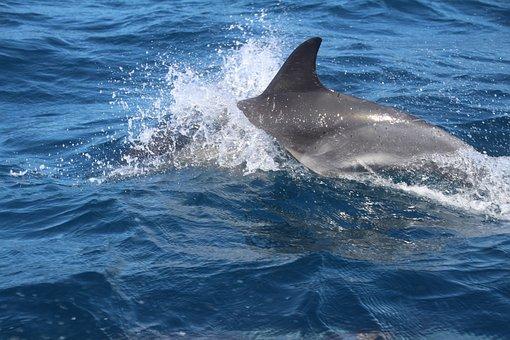 Dolphin, Marine Mammals, Joy, Water, Play, Sea, Wal