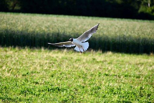 Seagull, Brown-headed Gull, Landing, Meadow, Flight