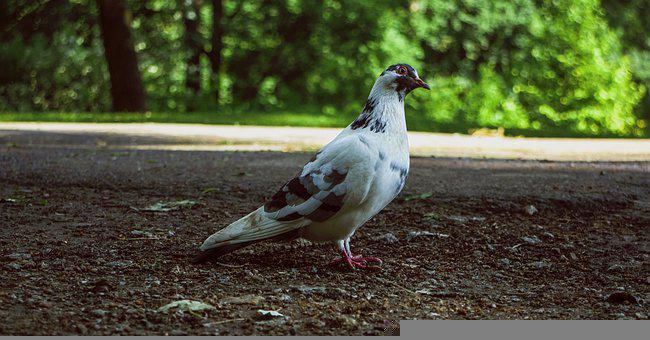 Dove, Nature, Bird, Pigeon, Peace, Fauna
