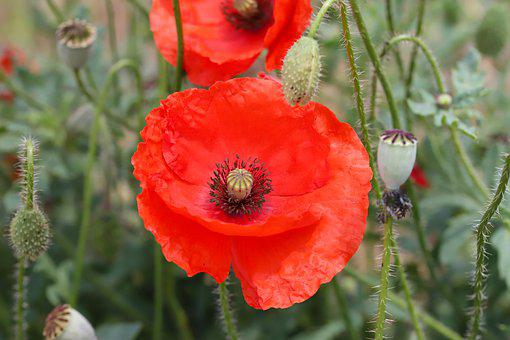 Poppy, Flowers, Plants, Nature, Red