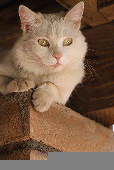 Cat, White, Kitten, Pet, Animal, Feline, Kitty, Cute