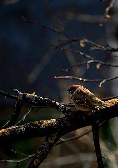 Sparrow, Birdie, Bird, Plumage, Sparrows