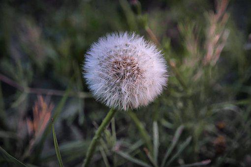 Dandelion, Pointed Flower, Seeds, Nature, Close Up