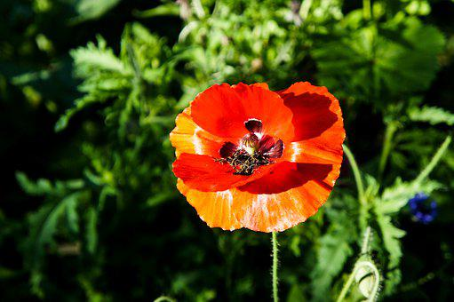 Poppy, Poppies, Flower, Red, Nature