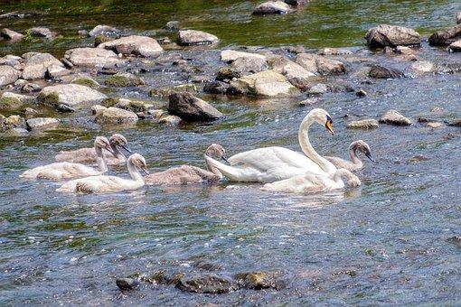 Swan, Family, Young, Children, Swim