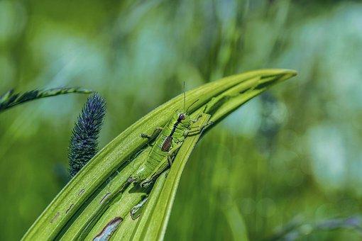Grasshopper, Viridissima, Leaf