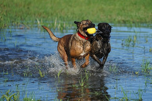Water, Fun, Dogs, Happy, Nature, Friendship, Breed