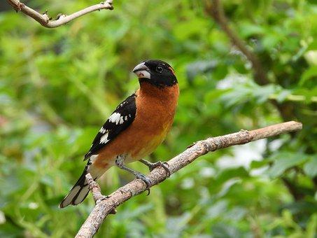 Grosbeak, Bird, Wild, Animal