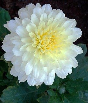 White Beauty, Flower, Spring, White, Bloom, Plant