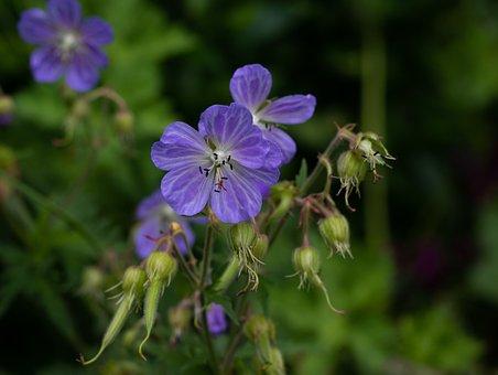 Geranium ' Mrs, Kendal Clark, Pelagonia, Blue, Summer