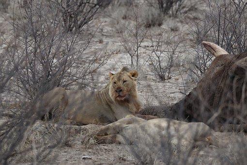 Lion, Prey, Predator, Carcass, Feast