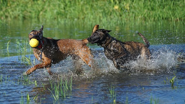 Dogs, Pastoral, Fun, Happiness, Spacer