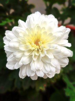 White, Flower, Chamanti, Chamanti Flower, White Flower