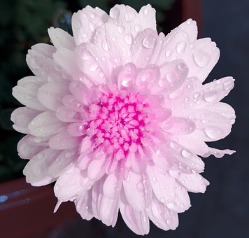 Pink White, White Flower, Pink Flower