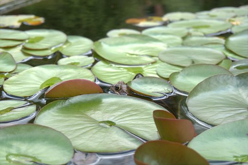 Frog, Pond, Water Lily, Leaf, Toad, Nature, Green