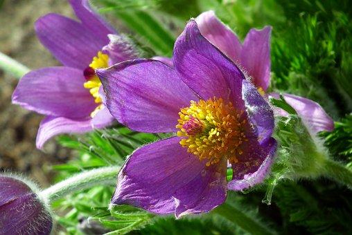 Sasanka, Flower, Spring, Plant, Violet, Hairy, Fluffy