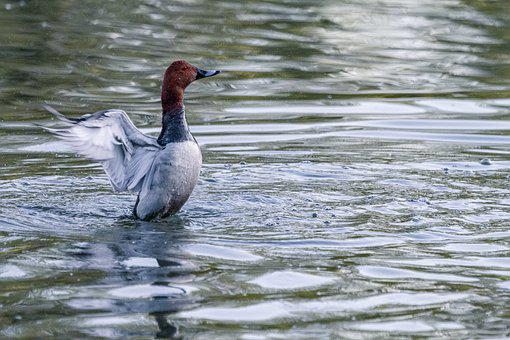 Duck, Water, Lake, Animal, Bird, Animal World