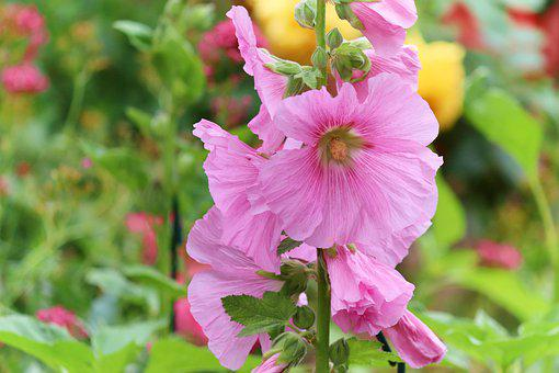 Stock Rose, Pink, Common Peony, Alcea Rosea, Hollyhock