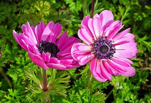Anemones, Flowers, Spring, Garden, Plants, Nature