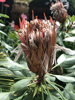Flower, South African, Plant, Bloom