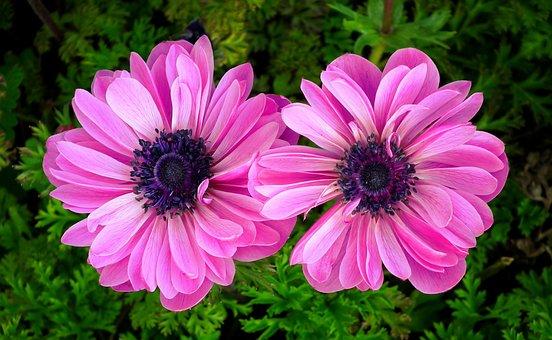 Anemone, Flowers, Pink, Spring, Garden, Plants